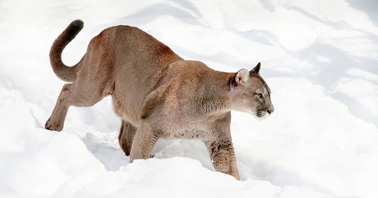 Male-cougar