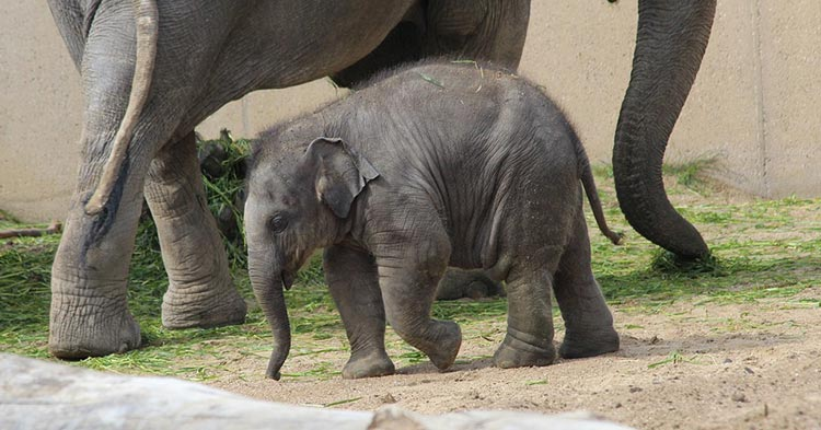 Newborn-Elephants