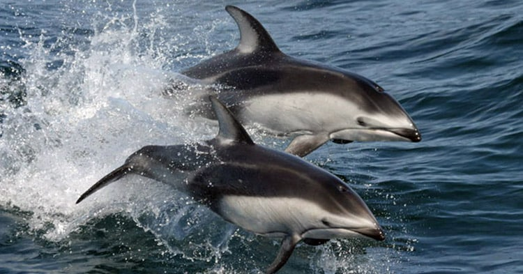 Pacific-Dolphin-(White-Sided)