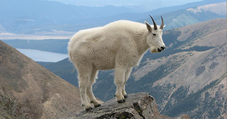 Rocky-Mountain-Goat