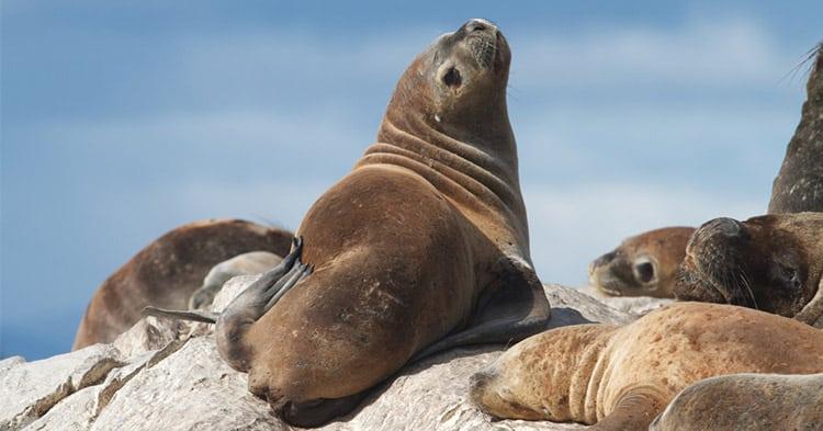 South-American-Fur-Seal