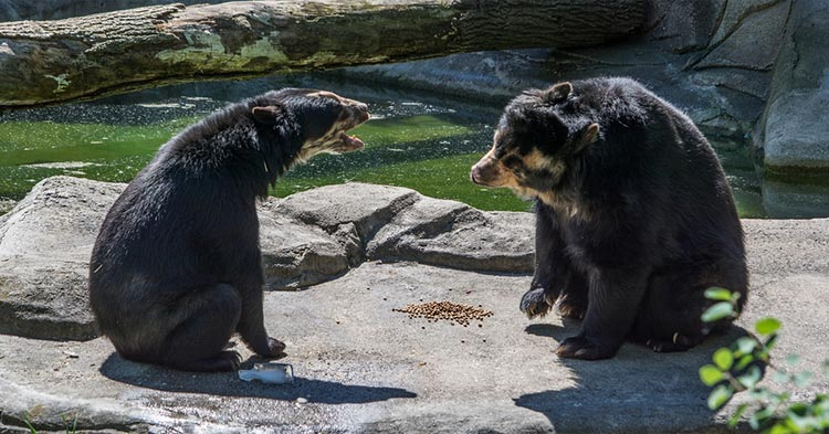 Spectacled-Bear-Andean-Bears