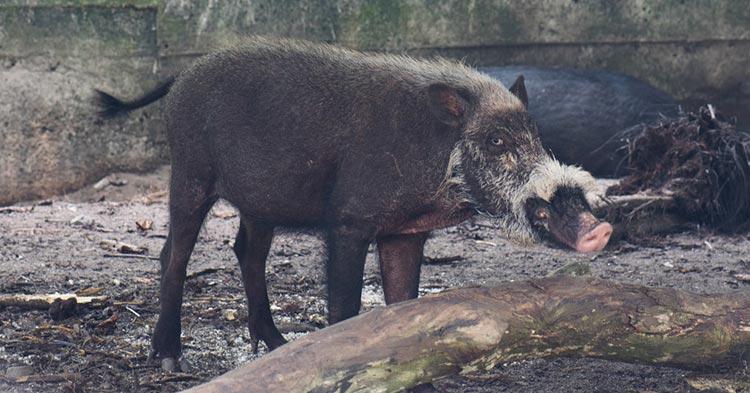 bearded-pig