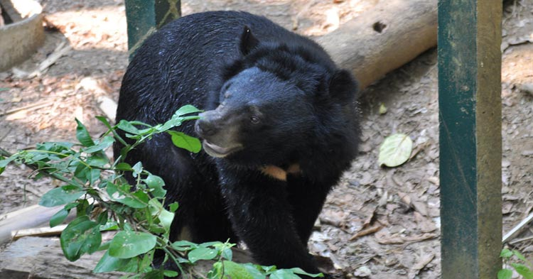 moon-bear-black-bear