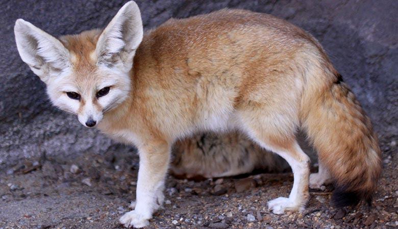 Fennec's Fox