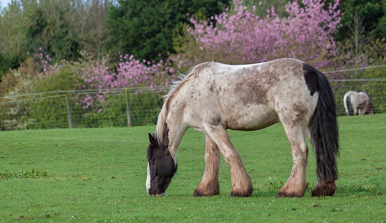 The-Shire-Horse