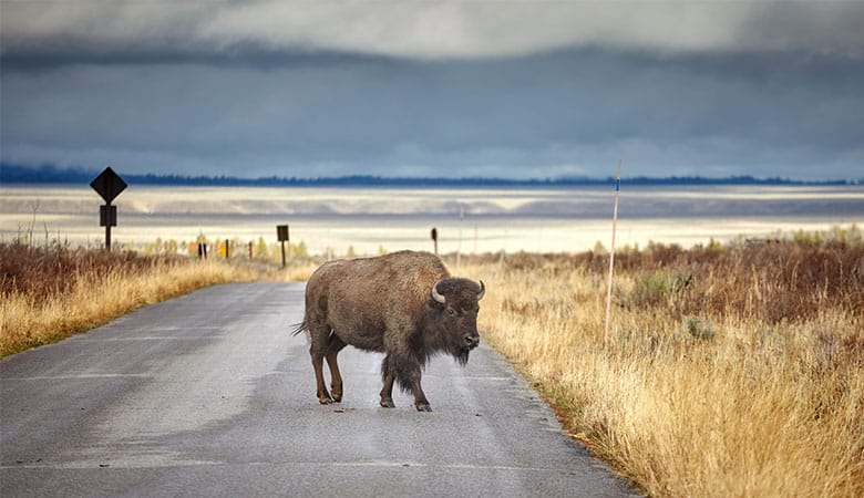 American-Bison-800-pounds