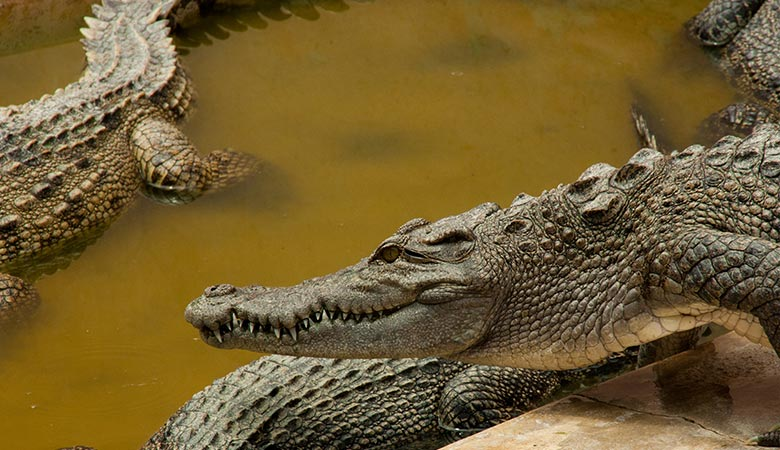 Crocodiles-heaviest-land-animals
