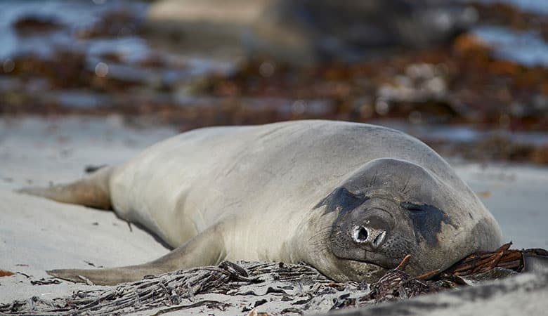 Elephant-Seals-900-pounds