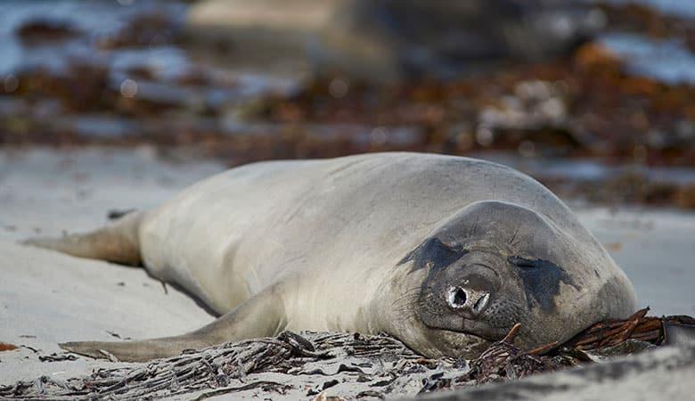 Elephant-Seals-900-pounds