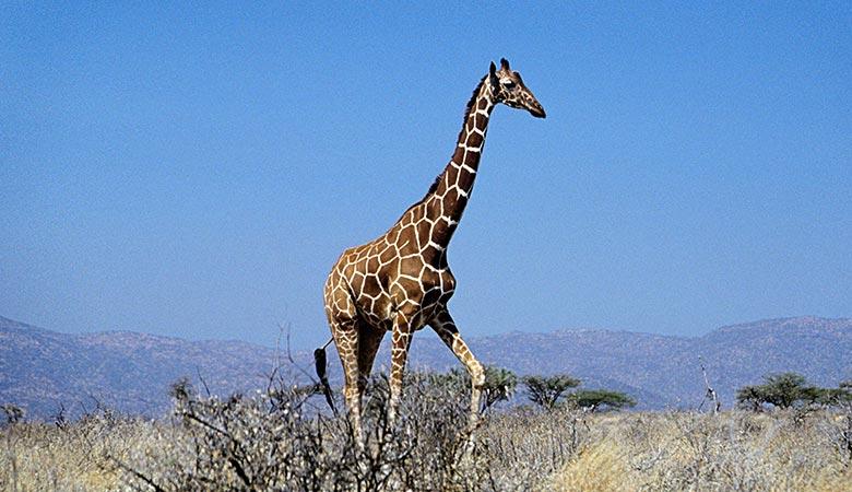Giraffes-900-pounds