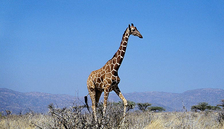 Giraffes-heaviest-land-animal