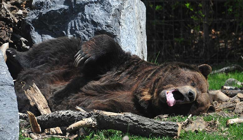 Grizzly-Bear-800-pounds