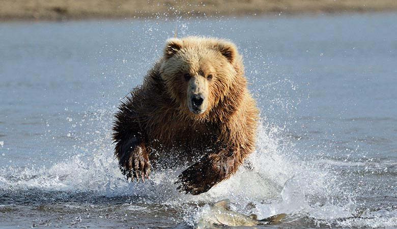 Grizzly-Bear-900-pounds