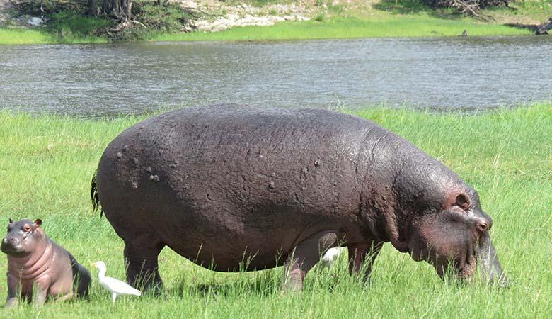 Hippopotamus-heaviest-land-animals