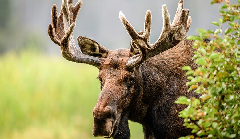 Moose-800-pounds