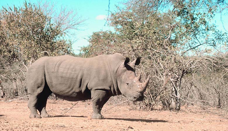 Rhinoceros-heaviest-land-animal