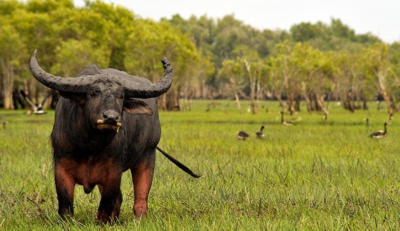 Water-Buffalo-heaviest-land-animals