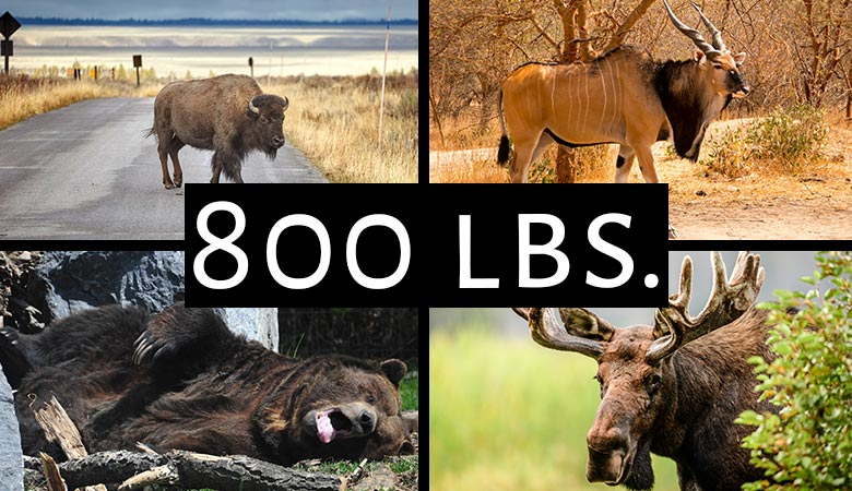 animals-that-weigh-around-800-pounds