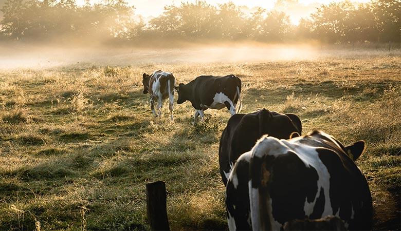 cows-900-pounds