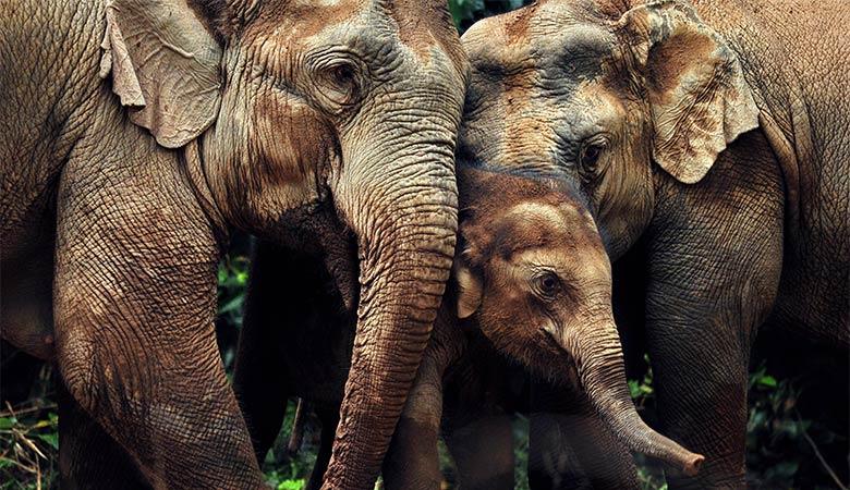 elephants-heaviest-land-animal-on-earth