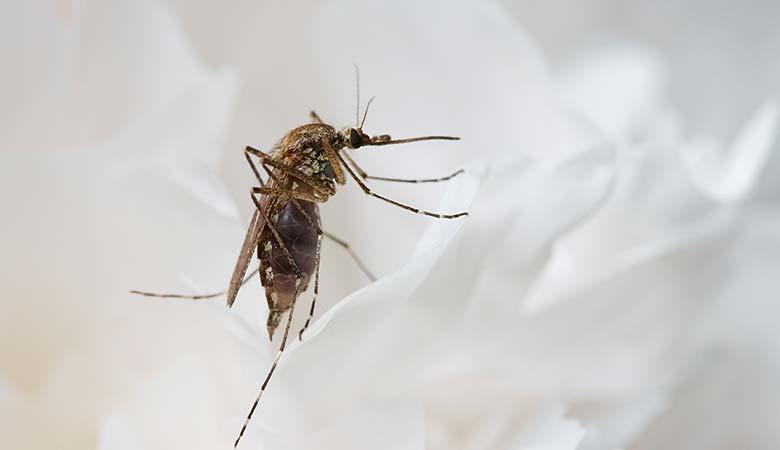 mosquito-1-milligram