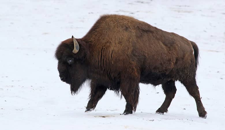 wood-bison-900-pounds