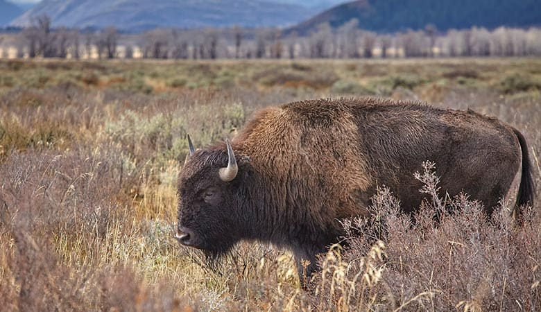 American-Bison-1200-pounds