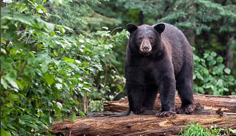 American-Black-Bear-400-pounds