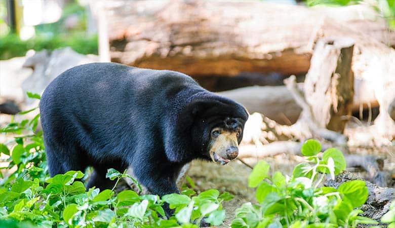 Asiatic-Black-Bear-400-pounds