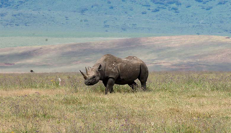 Black-Rhinos-1500-pounds