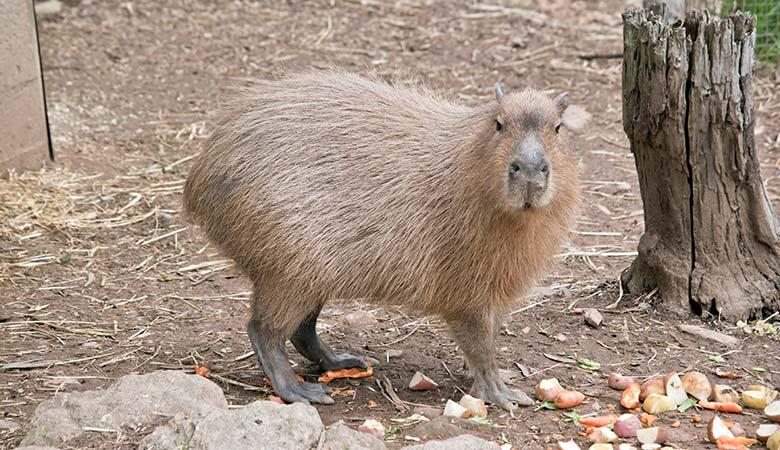 Capybaras-100-pounds