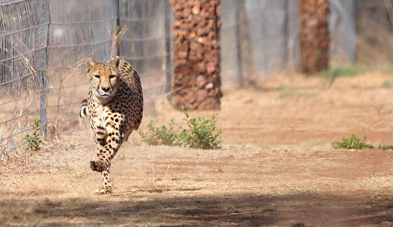 Cheetah-150-pounds