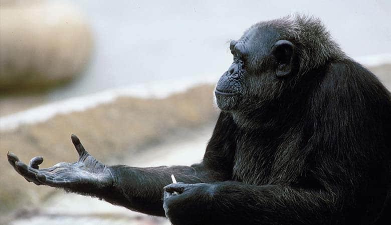 Chimpanzee-100-pounds