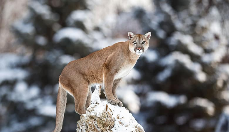 Cougar-150-pounds