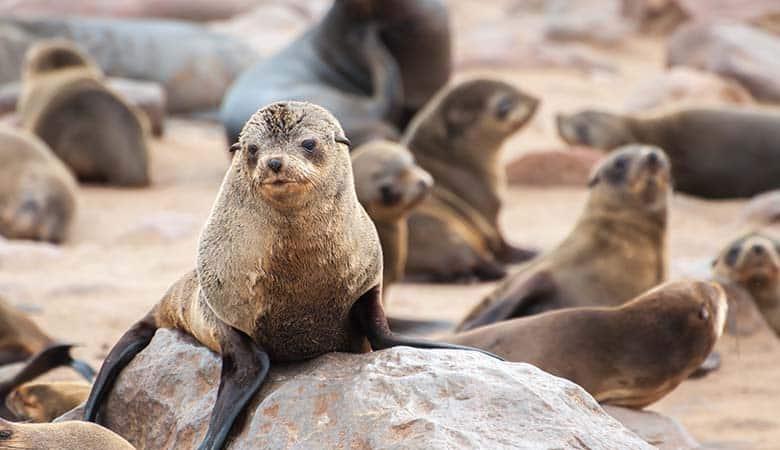 Fur-Seals-100-pounds