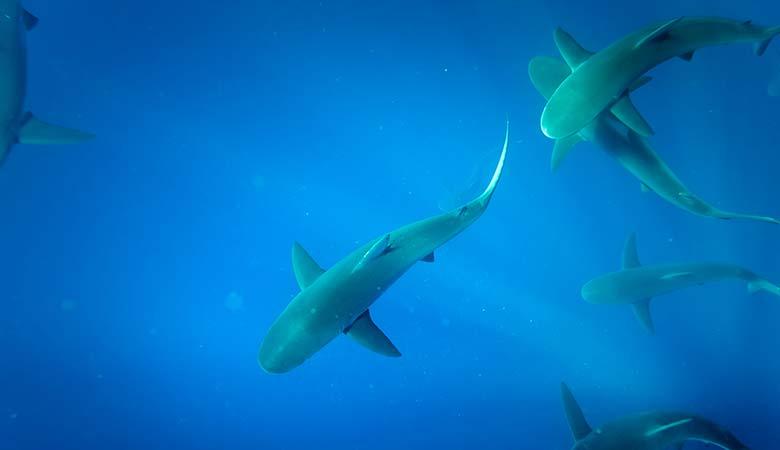 Galapagos-Shark-100-pounds