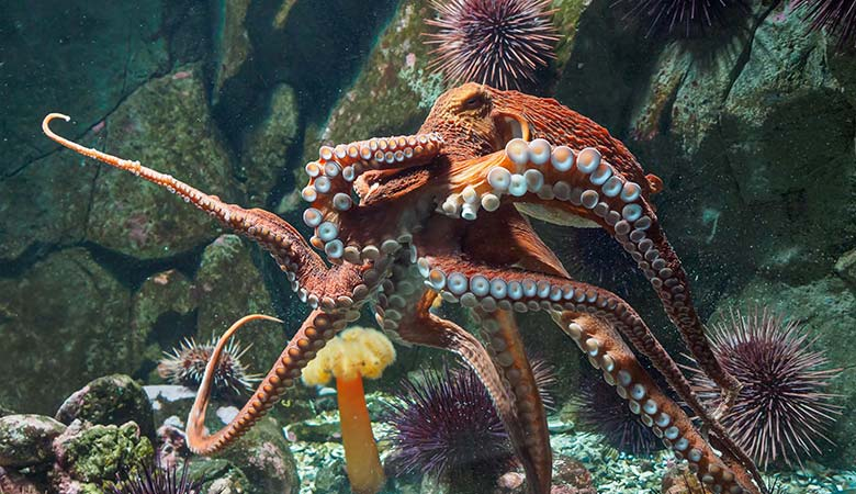 Giant-Pacific-Octopus-100-pounds