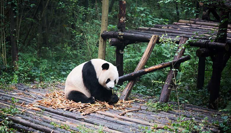 Giant-Panda-150-pounds-female
