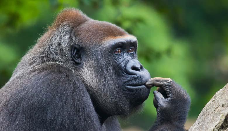 Gorilla-400-pounds
