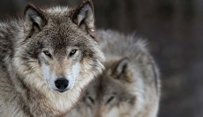 Gray-wolves-100-Pounds