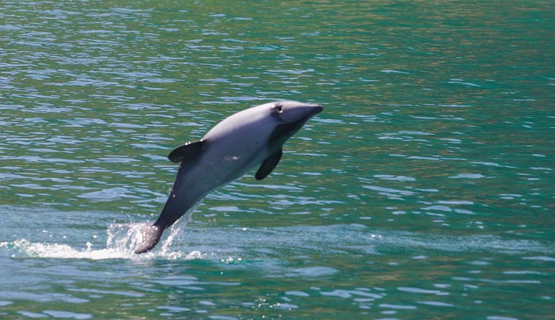 Hector's-Dolphins-100-pounds