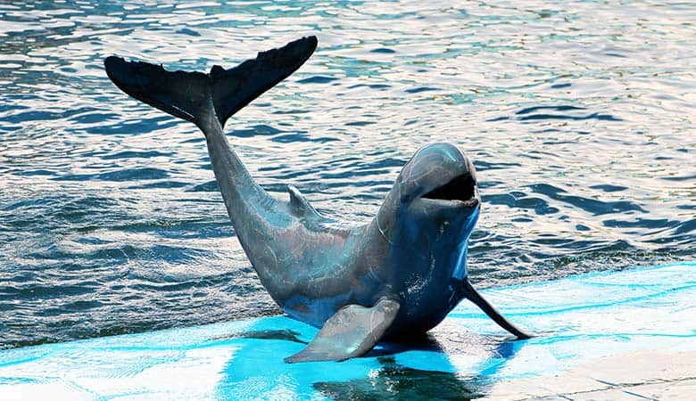 Irrawaddy-Dolphin-400-pounds