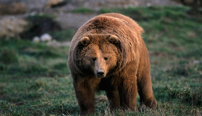 Kodiak-Bears-1200-pounds