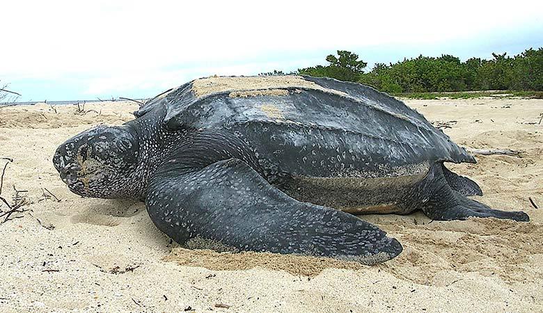 Leatherback-Sea-Turtles-1500-pounds