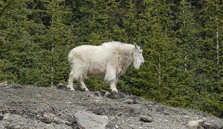 Mountain-Goat-150-pounds