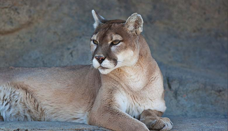 Mountain-Lions-100-pounds