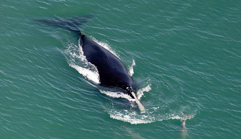 North-Atlantic-Right-Whale-heavy