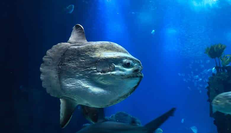 Ocean-Sunfish-1500-pounds