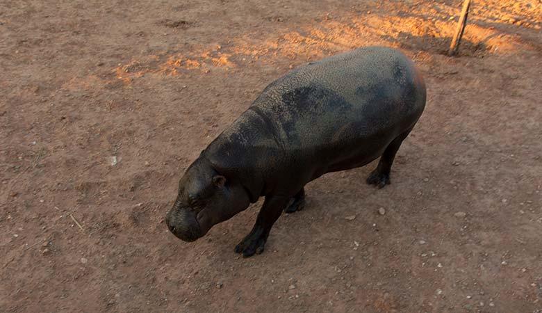 Pigmy-Hippo-400-pounds